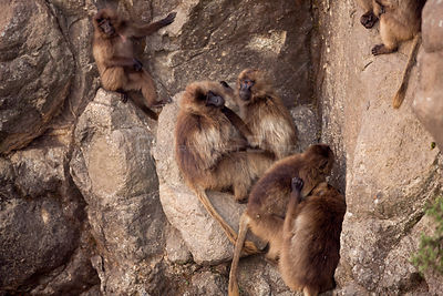 Gelada baboons (Theropithecus gelada) on cliff face, Simien Mountains National Park, Ethiopia, November