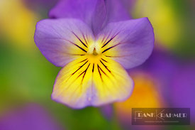 Horned pansy / Horned violet (viola cornuta)  - Europe, Germany, Bavaria, Upper Bavaria, Munich - digital