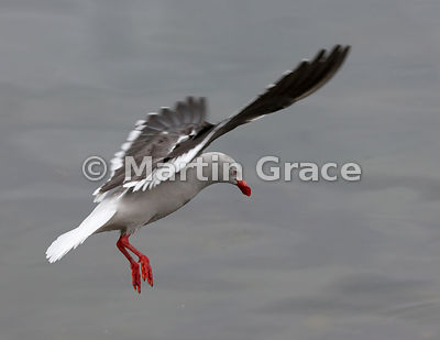 Dolphin Gull (Larus scoresbii) in flight, about to land, Ushuaia, Tierra del Fuego, Argentina