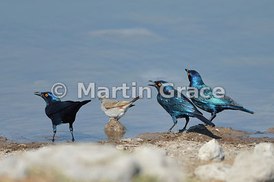Three Greater Blue-Eared Starlings (Lamprotornis chalybaeus) with single Northern Grey-Headed Sparrow (Passer griseus), Etosh...