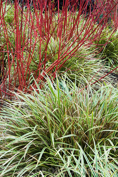 Variegated Carex morrowii 'Fisher's Form' below red stems of Cornus alba 'Sibirica'. The Sir Harold Hillier Gardens/Hampshire...