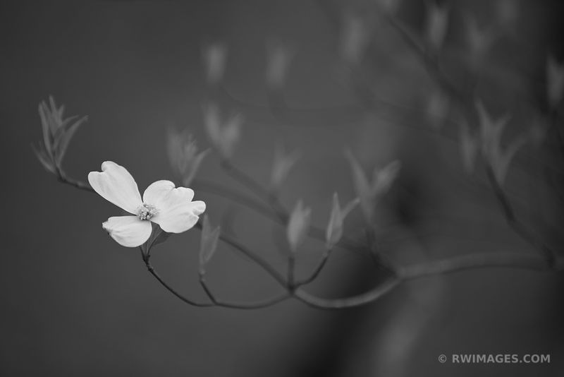 FLOWERING DOGWOOD CLOSE UP SMOKY MOUNTAINS BLACK AND WHITE