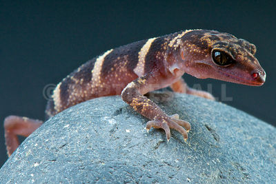 Kume ground gecko (Goniurosaurus yamashinae)