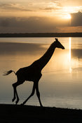 Maasai giraffe at Lake Ndutu at sunset (Giraffa camelopardalis tippelskirchi), Serengeti National Park, Tanzania
