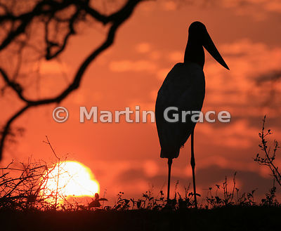 Jabiru Sunset - commended in the Best Portrait category of Bird Photographer of the Year 2018