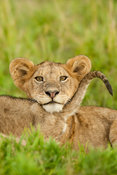 Lion cubs (Panthero leo), Serengeti National Park, Tanzania