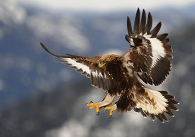 Kongeørn, Golden eagle (Aquila chrysaetos)