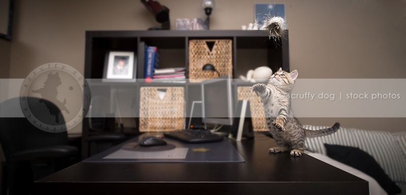 small brown tabby kitten standing on two legs on desk playing with toy indoors
