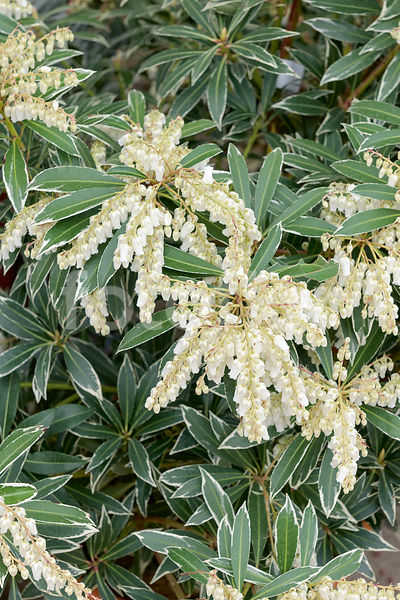 Pieris japonica 'Flaming Silver'