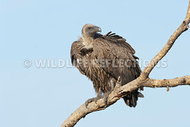 White Backed Vulture Eyeing