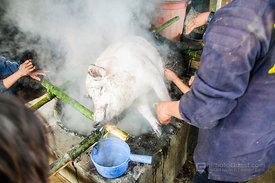 Cleaning Hairs from The Oustide of Killed Pig