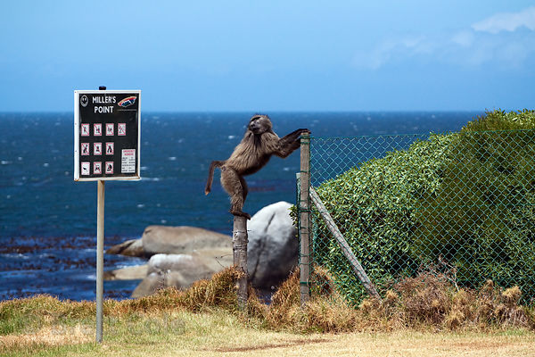 Alpha male baboon from the Smitswinkel troop climbs a fence next to a sign for the Miller's Point recreation area, Cape Penin...