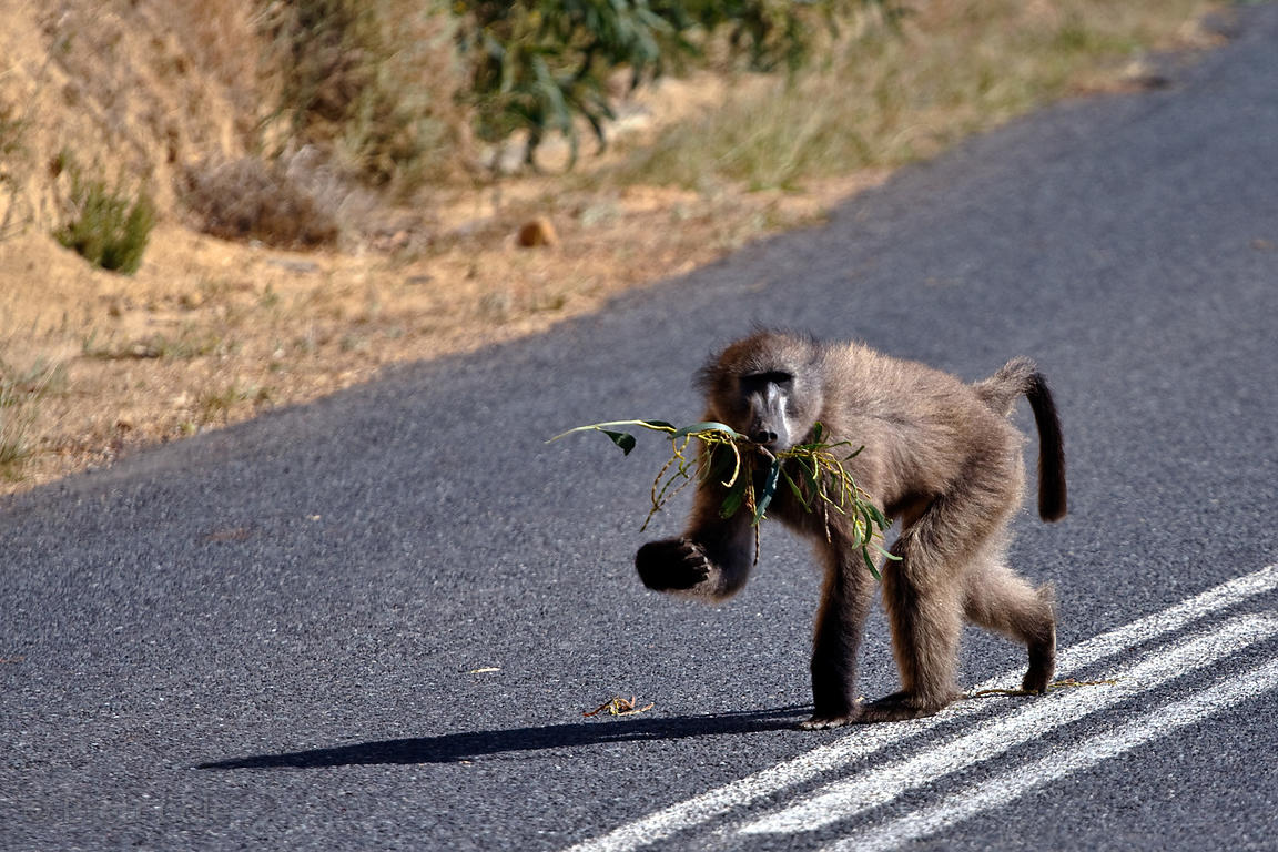 A baboon from the Smitswinkel troop walks on the M4 near Miller's Point, Cape Peninsula, South Africa.