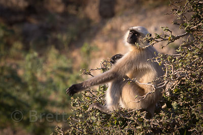 Langur monkey sunning itself at sunrise, Ajaypal, Rajasthan, India