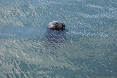Seal in Dalkey Harbour, Ireland