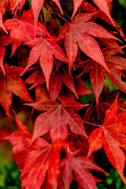 Japanese maples in the autumn