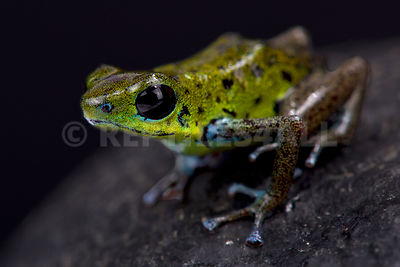 "Green strawberry dart frog (Oophaga pumilio) ""Chiriqui Verde"""