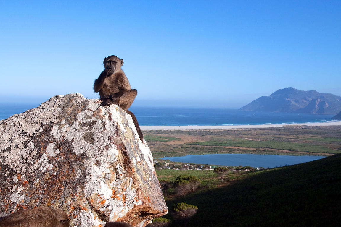 Chacma baboons from the Slangkop troop on a mountain slope above the community of Ocean View, Cape Peninsula, South Africa