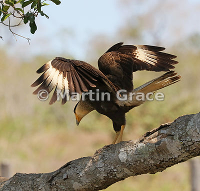 Southern Crested Caracara (Caracara plancus) landing with wings outstretched, Northern Pantanal, Mato Grosso, Brazil