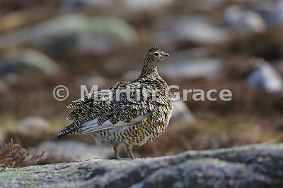 Rock Ptarmigan female (Lagopus muta) fluffing out her feathers, June 9, Cairngorm, Scottish Highlands
