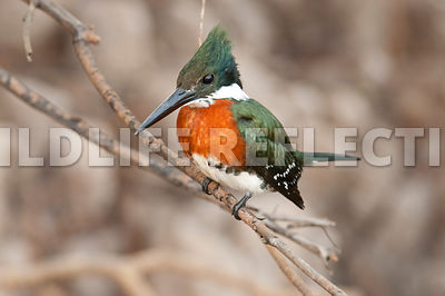 green_kingfisher_perch09061313
