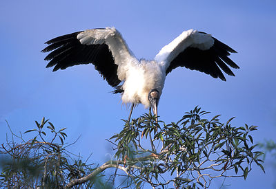 Florida_Wood_Stork_Wings_open