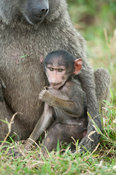 Olive baboon with baby (Papio cynocephalus anubis), Serengeti National Park, Tanzania