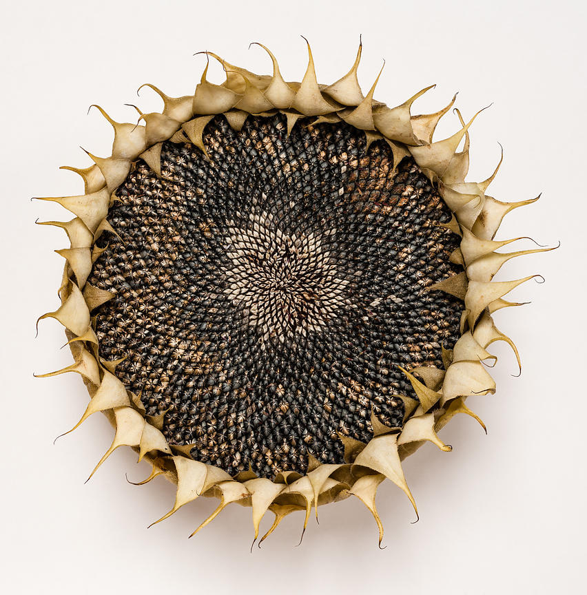 Sunflower Head 20x16 inches £195