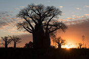 Baobab trees at sunset, Mandrare River Camp, Ifotaka Community Forest, Madagascar