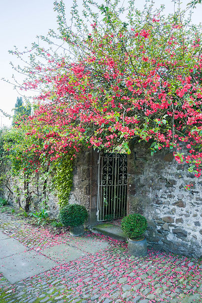 Ornamental quince forms a canopy over the gate leading from the courtyard into the garden. Summerdale House, Lupton, Cumbria, UK