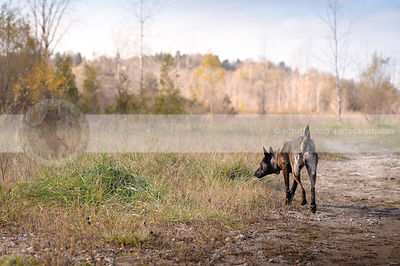 dutch shepherd dog hunting in field