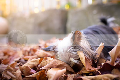 black and tan yorkshire terrier dog sniffing in autumn leaves