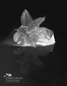 Peruvian Lily and Reflection