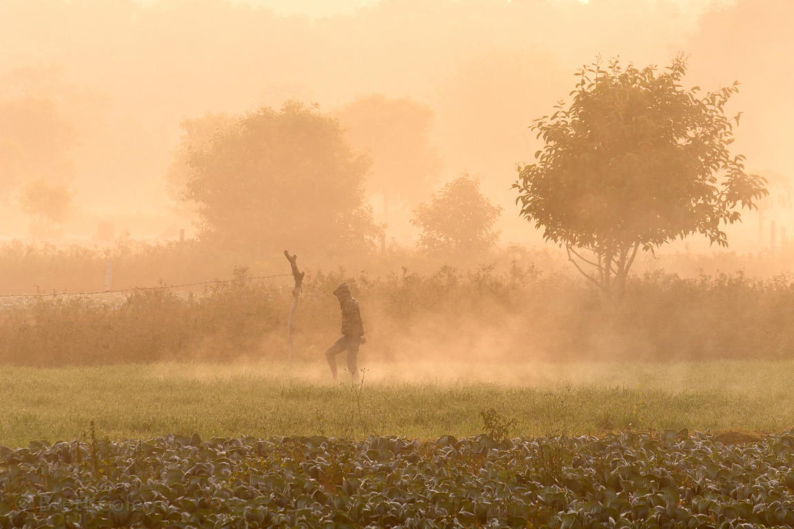 A cabbage farmer tends a field on a misty winter morning at sunrise, Banseli village, Rajasthan, India