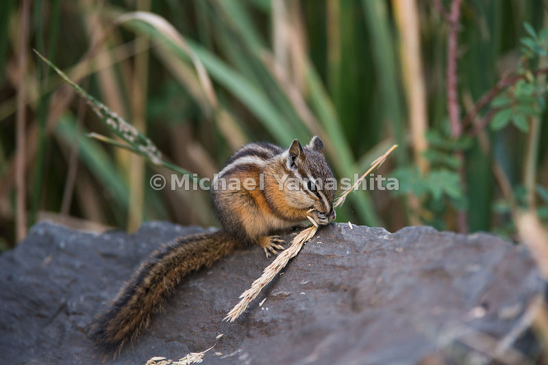 Chipmunk eating a grass head in the Northern Range area of Yellowstone National Park, Montana / Wyoming...Yellowstone Nationa...