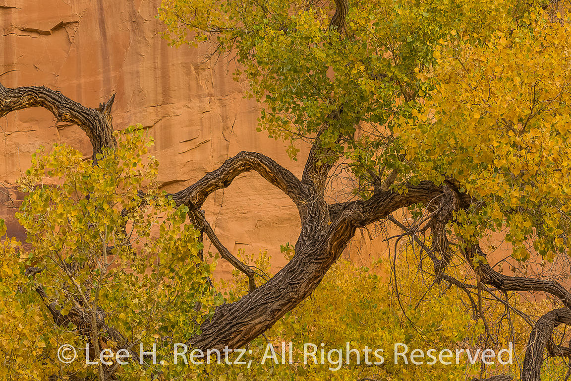 Fremont's Cottonwood in Horseshoe Canyon in Canyonlands National Park