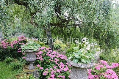 The Leisure Garden with pink hydrangeas and hostas in stone urns below a weeping birch, Betula penula 'Youngii'. Rodmarton Ma...
