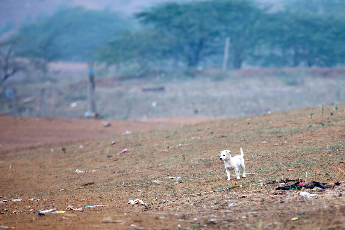 Lone puppy in a desert field in Pushkar, Rajasthan, India