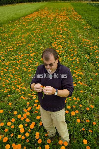 Pot marigold (calendula) research