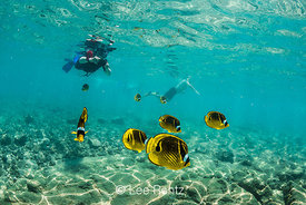 Snorkeler and Raccoon Butterflyfish along Coral Reef off Big Island of Hawaii