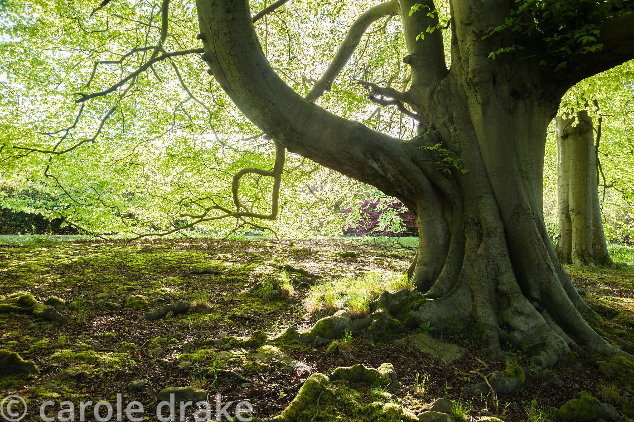 Morning sun filters through fresh beech foliage. Holker Hall, Grange over Sands, Cumbria, UK