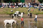 Escaped stallion at Appleby Horse Fair tries it on with a mare while crowds watch on.