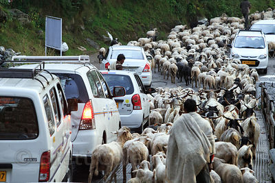 Goats cause a traffic jam in Jagatsukh near Manali, India
