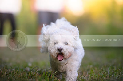 groomed white bichon frise running to camera in grass