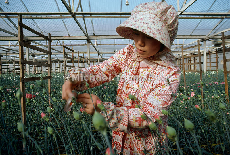 Business blooms in California's Monterey County, where 61 Japanese-American families dominate the cut-flower industry. At a n...