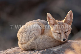 kit_fox_curled_up