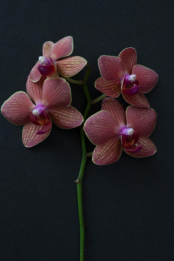 ACutting_orchid_0363