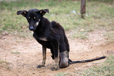 A dog at the Tree of Life for Animals rescue center in Pushkar, India with no hind legs after being run over by a car