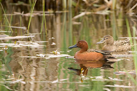 March - Cinnamon Teals