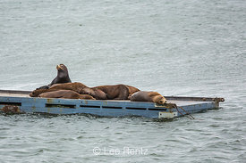 California Sea Lions Hauled Out in California's Crescent City Harbor